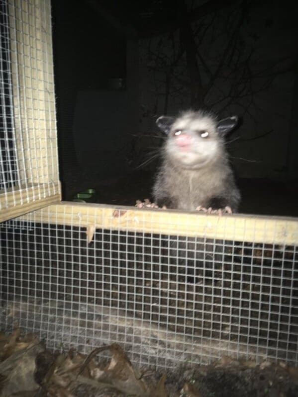 A possum every hour twitter, tweets of pictures of possums every single day and night, wtf, wholesome, funny photos of animals, Possumeveryhour